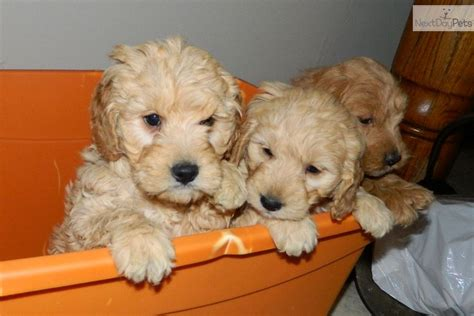 doodle puppies for sale indiana goldendoodle puppy for sale near south bend michiana