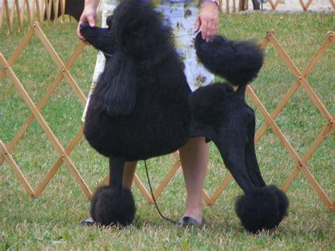 Las Size Standar size of the standard poodle poodle forum standard