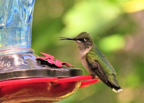 best hummingbird food 5 healthy nectars diy nectar