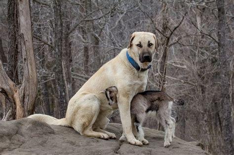 anatolian dogs 25 best ideas about anatolian shepherd on anatolian shepherd puppies