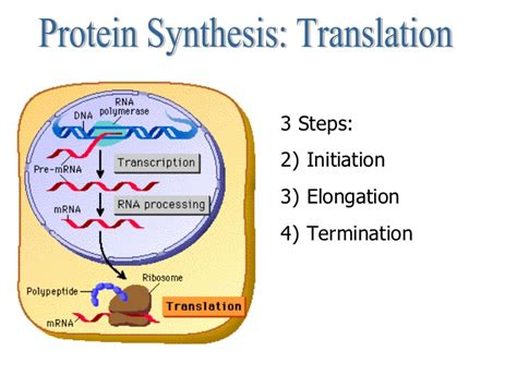 protein synthesis steps central dogma and protein synthesis
