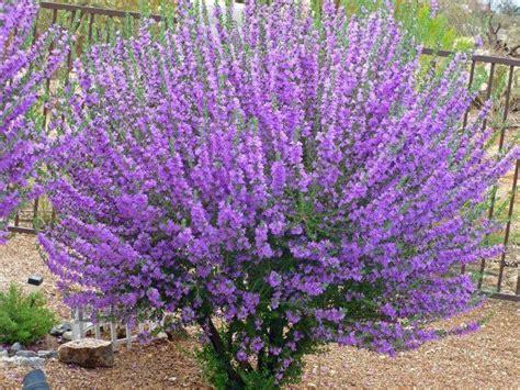 tucson bushes with purple flowers gardening pinterest flower shrub and sage