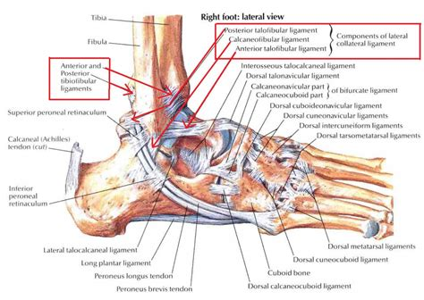 ligaments diagram ankle ligament anatomy human anatomy diagram
