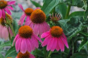echinacea coneflower flowers