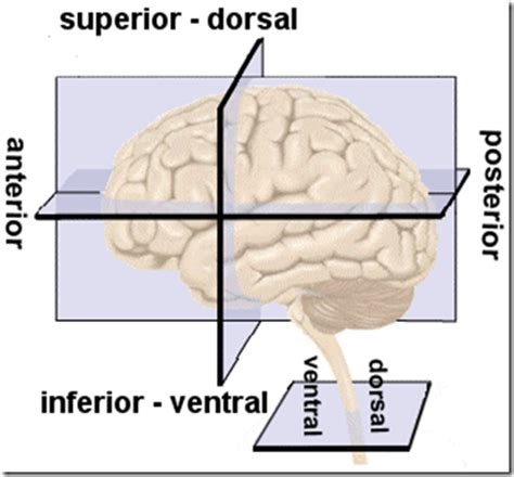 cross section human brain human brain directions cross sections and divisions