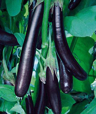 long purple organic eggplant seeds  plants vegetable
