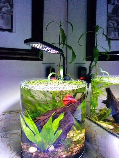 betta vase 2 8 gallon vase tank for the betta http www plantedtank