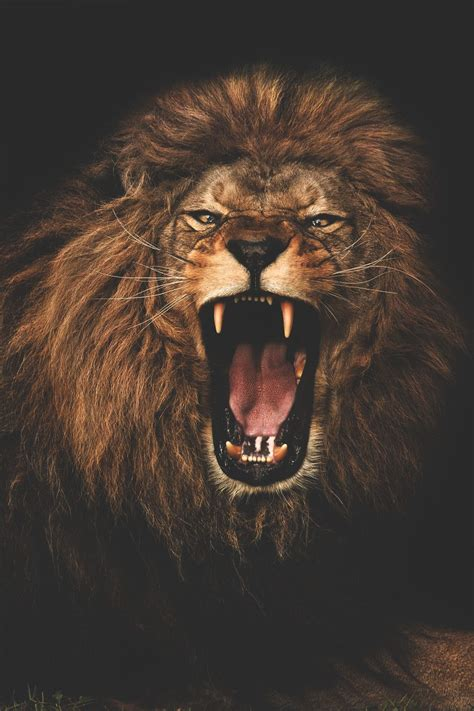 lion roaring tattoo real style photo wilderness animals cats