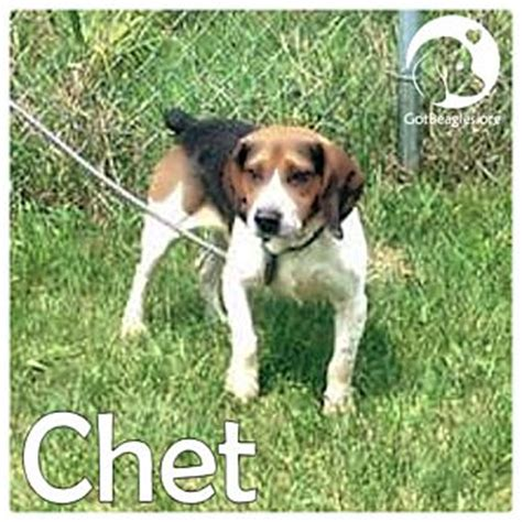 puppies for adoption in pittsburgh pa pittsburgh pa beagle meet chet a for adoption