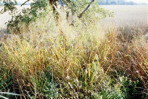 switchgrass the sprucery