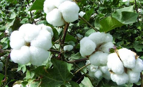 new year cotton flower cotton seed zhong wei horticultural products company
