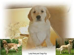 Red golden retriever puppies from lucky penny