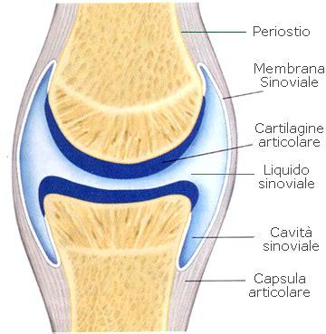 articolazione mobile articolazioni struttura anatomia
