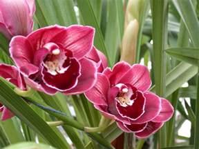Orchids File A And B Larsen Orchids Cymbidium Rolf Bolin Red Velvet Dscn4712 Jpg