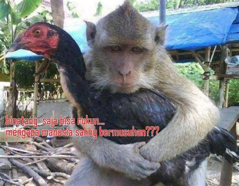 Pantat Anting kumpulan meme gambar monyet lucu unik