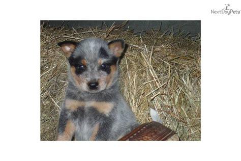 blue heeler puppy names names blue heeler