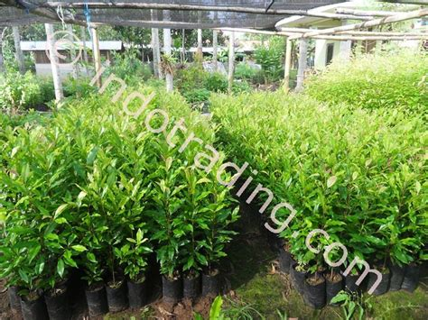 Bibit Cengkeh jual bibit tanaman distributor di semarang supplier