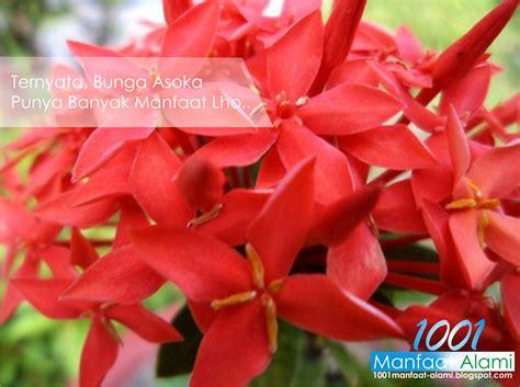 Tanaman Asoka India 5 manfaat bunga asoka bagi kesehatan tubuh