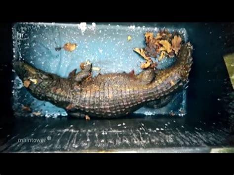 garten schlitz schlitz unglaublich krokodil im garten gefunden