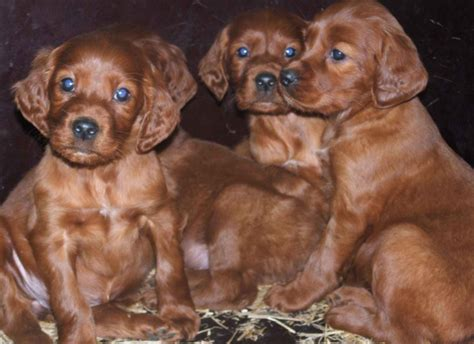 irish setter dog group dog group picture of irish setter puppies png hi res 720p hd