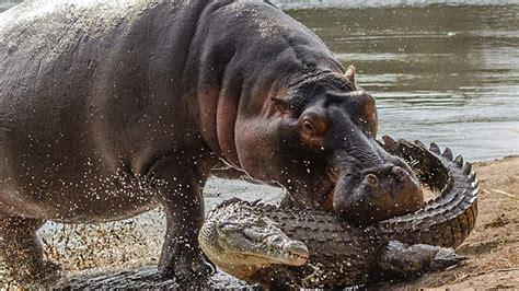 Hippo Top 1 image gallery hippopotamus attack statistics