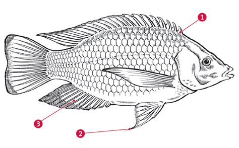 diagram of fish tilapia