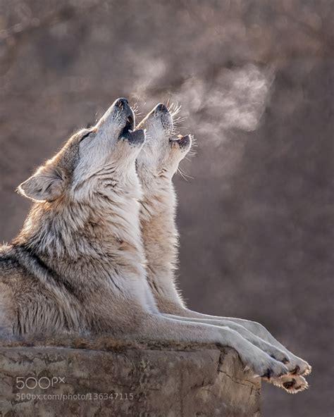best 25 wolf range ideas on pinterest wolf oven wolf best 25 wolves website ideas on pinterest white wolf