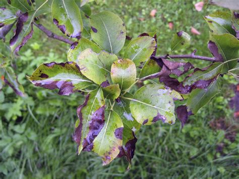 Pear Tree Diseases | common problems with pears treating pear tree insect
