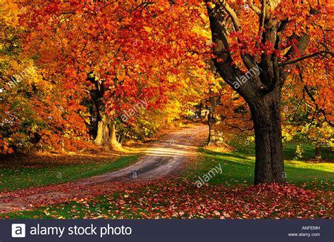 canada colors maple tree with fall foliage port william scotia