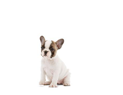 Royal Canin Bulldog Junior 3kg Makanan Bulldog Puppy franse bulldog puppyvoer rasspecifiek voer voor pups