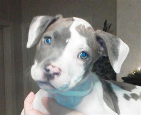 baby pitbull puppies pit bull baby pitbulls