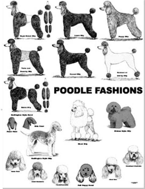 what are yhe different kinds of poodle cuts 1000 images about cas on pinterest poodles poodle