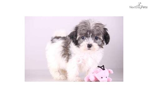 destiny havanese havanese puppy for sale near mansfield ohio 7542f4a8 d911