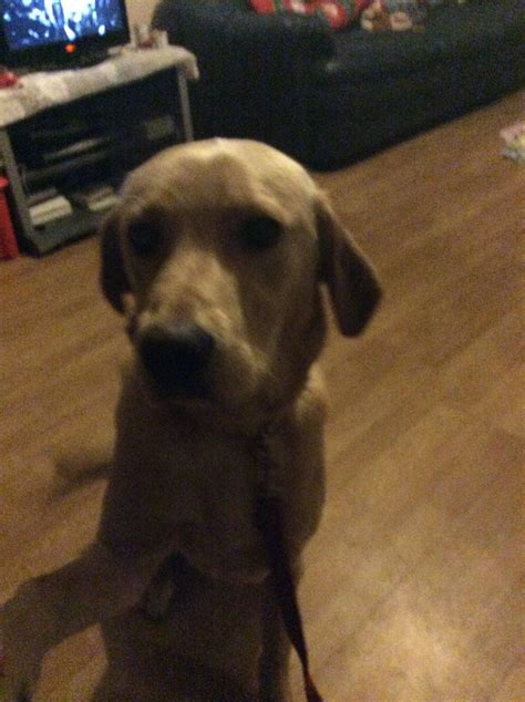 10 month puppy 10 month beautiful labrador puppy for sale hatfield hertfordshire pets4homes