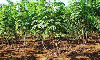 pengertian perkembangbiakan vegetatif   contoh