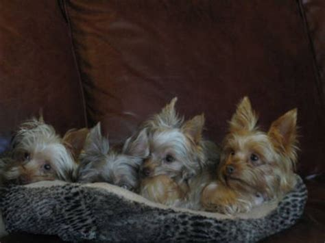 teacup yorkie rescue ct best 25 puppy for adoption ideas on husky adoption pomeranian husky for