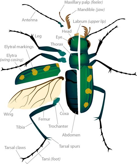 insect body sections tiger beetle anatomy asu ask a biologist