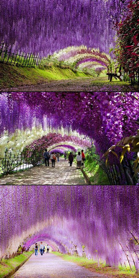 wisteria tunnels tokyo fascinating look at the wisteria flower tunnel in japan