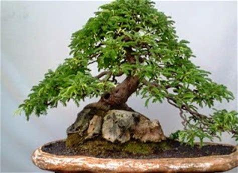 Bakalan Bonsai Asem Jawa cara merawat tanaman dan aneka tanaman hias membuat