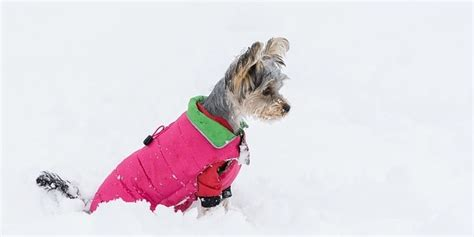 can dogs get a cold can pit bulls and other haired dogs get cold in