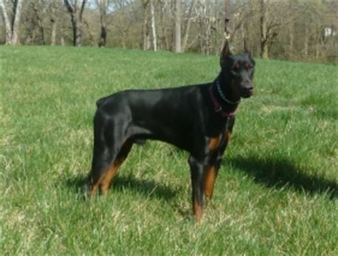 kimbertal kennels rottweiler puppies for sale doberman studs kimbertal kennels