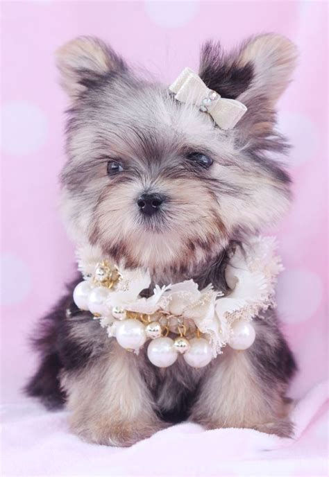 morkie puppies for sale in florida the world s catalog of ideas