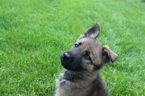 10 week german shepherd puppies german shepherd puppy 10 weeks northton northtonshire pets4homes