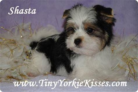 tiny yorkie kisses reviews parti morkie shasta2 opt from tiny yorkie kisses in vacaville ca 95688