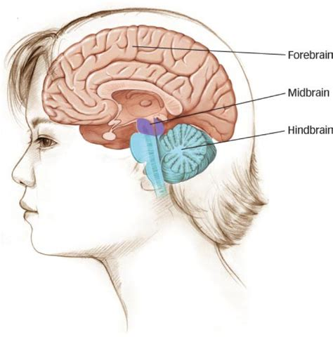 diagram of forebrain chapter 4 psychology 202 with coffey at of