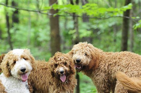 australian doodle puppies for sale ontario bernedoodle and australian labradoodle breeders adoradoodle