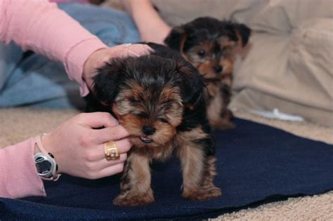 adopt a baby yorkie pets tx free classified ads