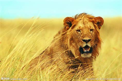 imagenes de leones feroces 非洲狮摄影图 野生动物 生物世界 摄影图库 昵图网nipic com