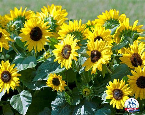Sunflower Suntastic Yellow With Black Center F1 All Flower Garden Plants