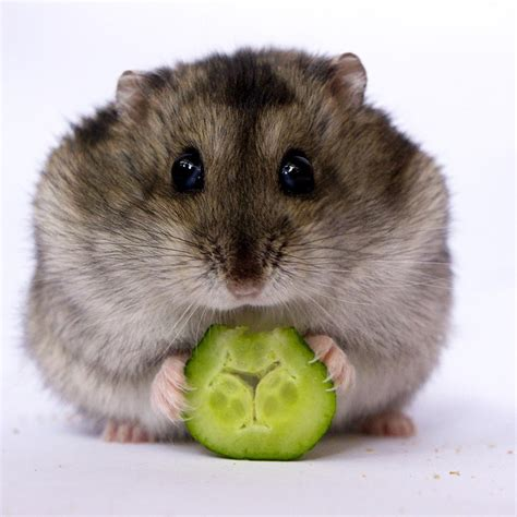 awesome pics  adorable hamsters     cute
